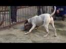 собачьи бои питбуль vs аргентинский дог часть